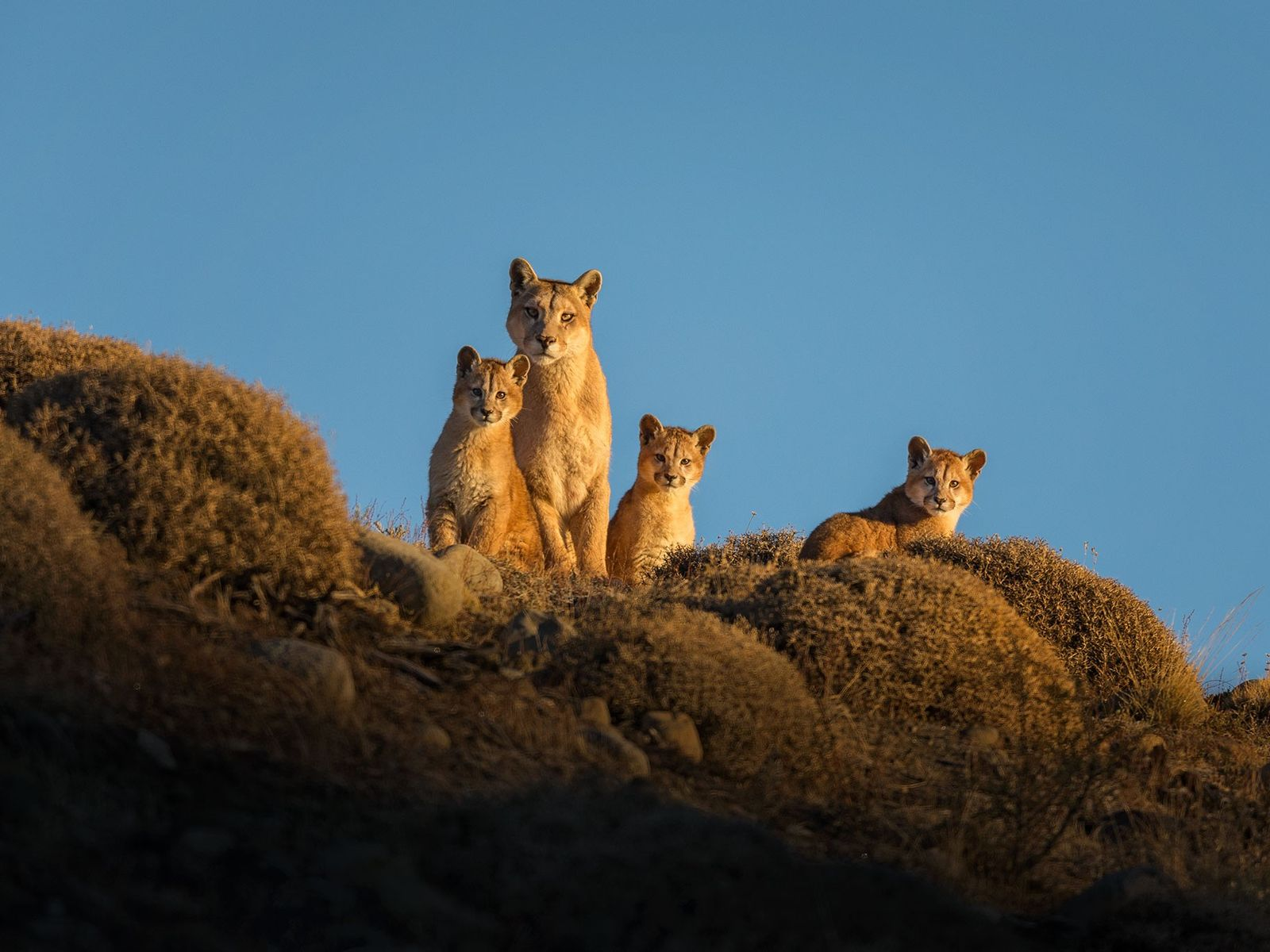 A female puma, known to park officials as Colmillo, and her three cubs scan the horizon ...