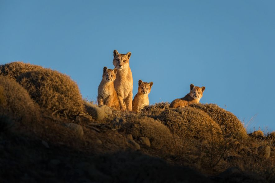 A year with pumas: the lessons one photographer learnt
