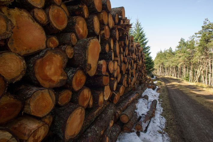 "Clashindarroch Forest's felling has been defended by Forestry and Land Scotland, who asserted they ""only fell ..."