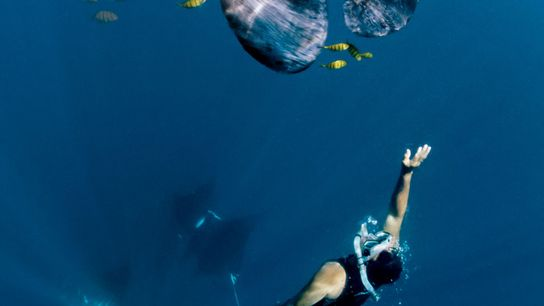 A snorkeller swims with a manta ray in the biodiverse waters of Raja Ampat, Indonesia.