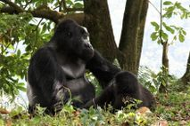 Rafiki (pictured above with a female) had led his group of 17 gorillas since 2008.