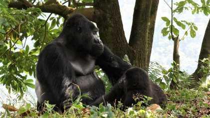 Beloved silverback gorilla killed by poachers in Uganda