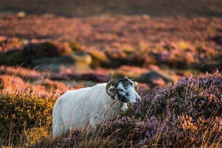 Ram among the heather, Peak District. Image: Diana Jarvis