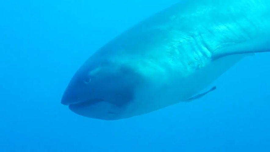 Extremely rare megamouth shark filmend