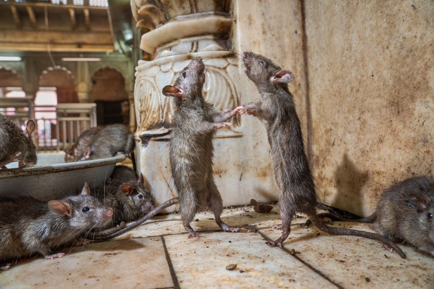 Two rats at Karni Mata Temple box to determine which is dominant. Rats are social animals ...