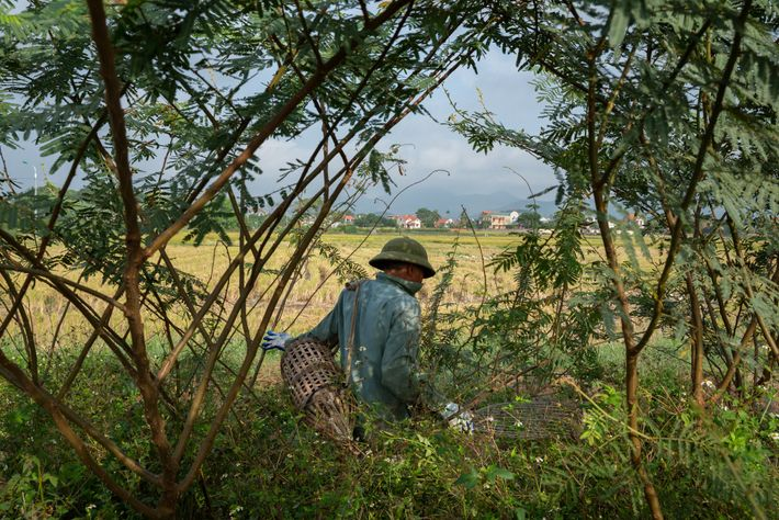 """""""Mr. Thy"""" roams farmlands in search of rats in Quang Ninh in November 2018."""