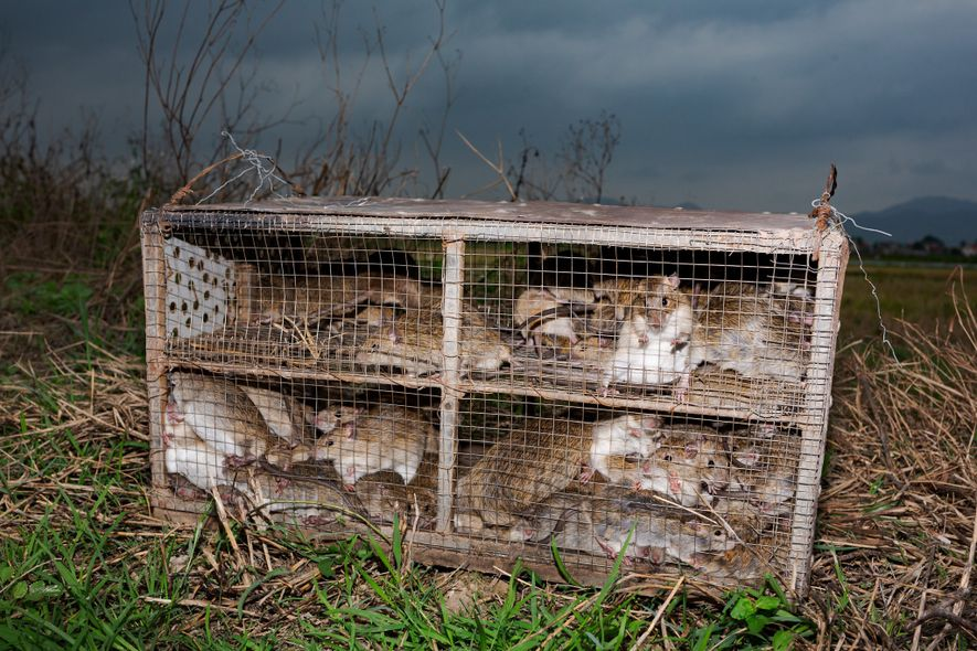 Rats captured in Quang Ninh Province are caged before being hauled off to local markets and ...