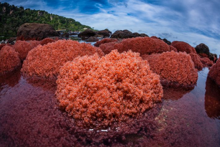 Thousands of juvenile crabs cover rocks near Christmas Island.