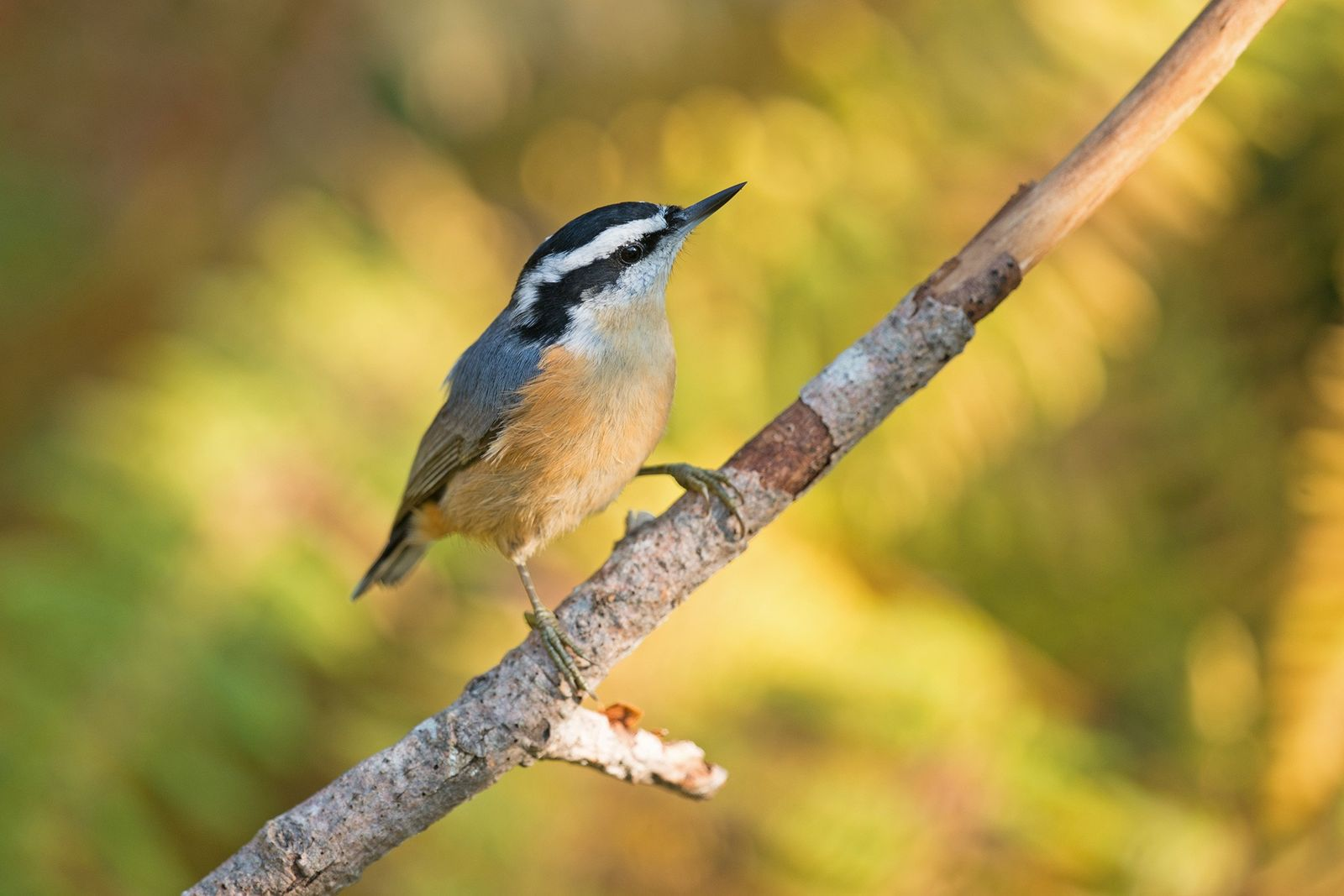 These birds 'retweet' alarm calls—but are careful about spreading rumours