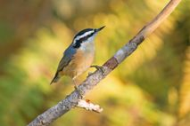 Red-breasted nuthatches (pictured, a bird in Washington State) can be seen clinging to tree trunks, searching ...