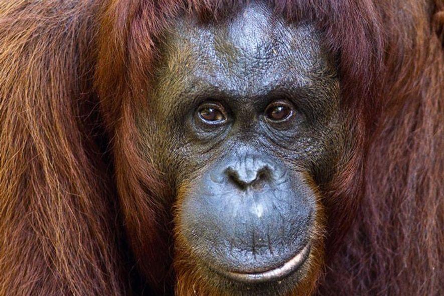 Orangutan, Malaysia.