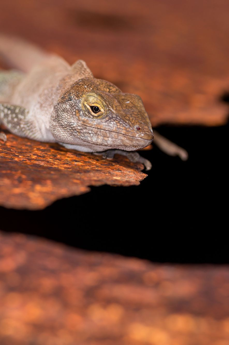 The Redonda tree lizard (Anolis nubilus), one of the reptiles that rebounded after invasive species were ...