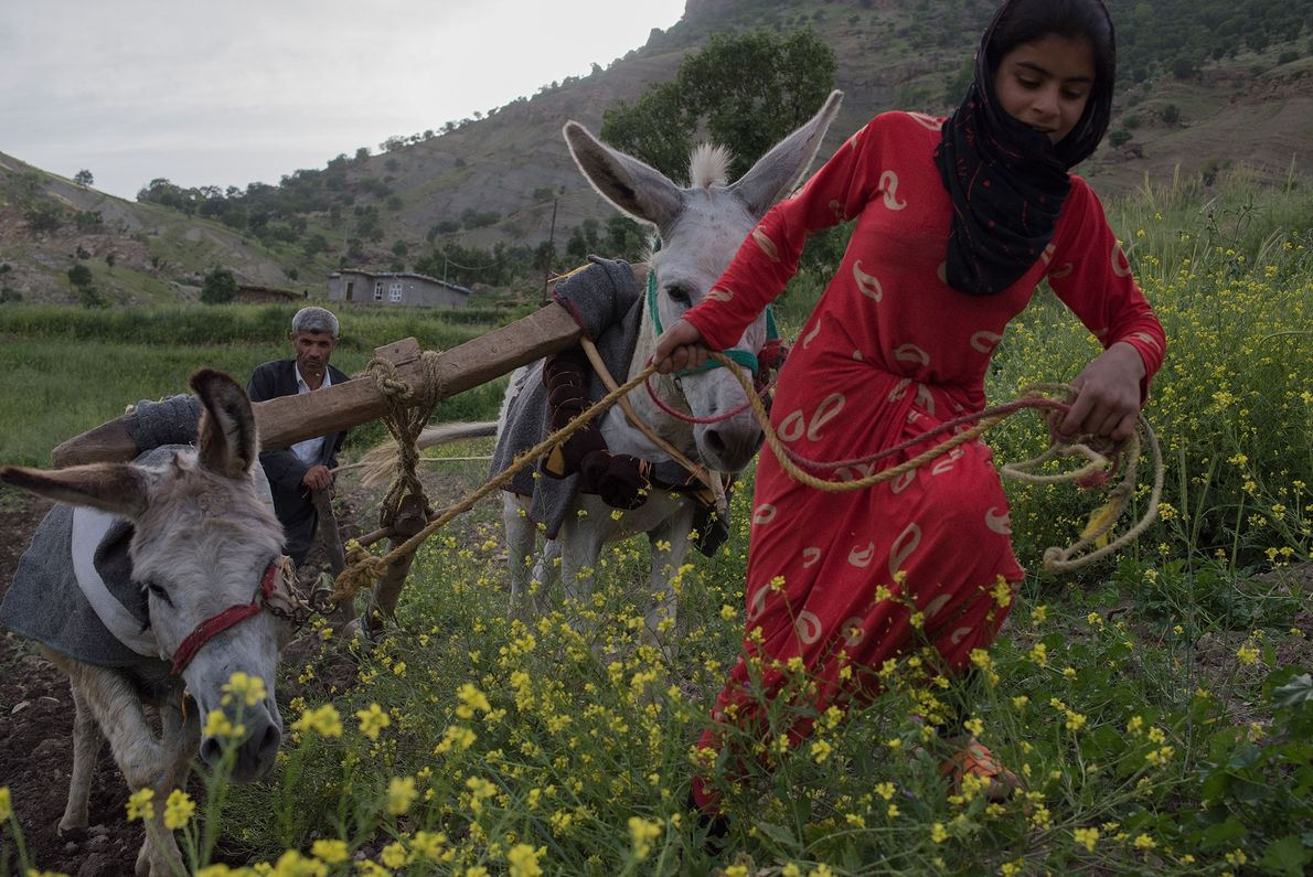 A Kurdish farmer and his niece prepare a field for spring planting in the mountains near ...