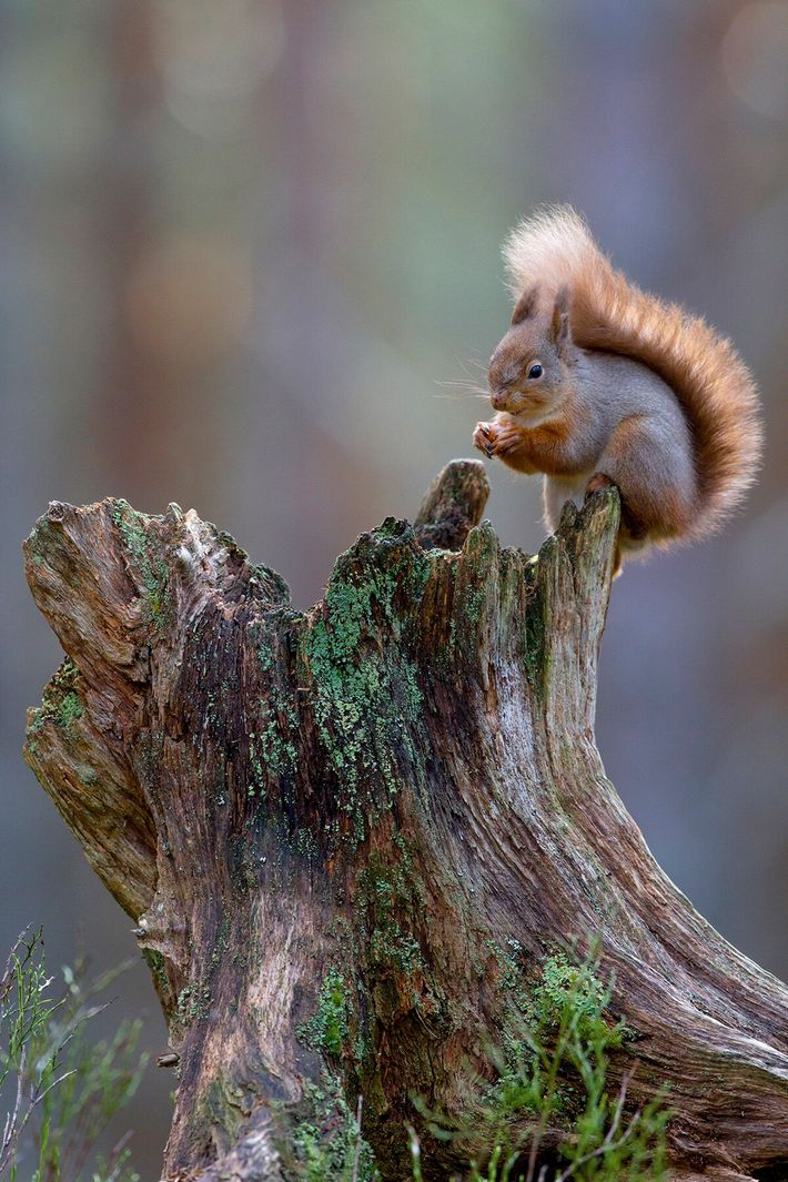 Red squirrels are a native species in decline in the UK – but they're thriving in ...