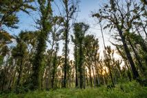 Broulee woodlands on the edge of the Illawong Nature Reserve has recovered remarkably well, the trees emerald ...
