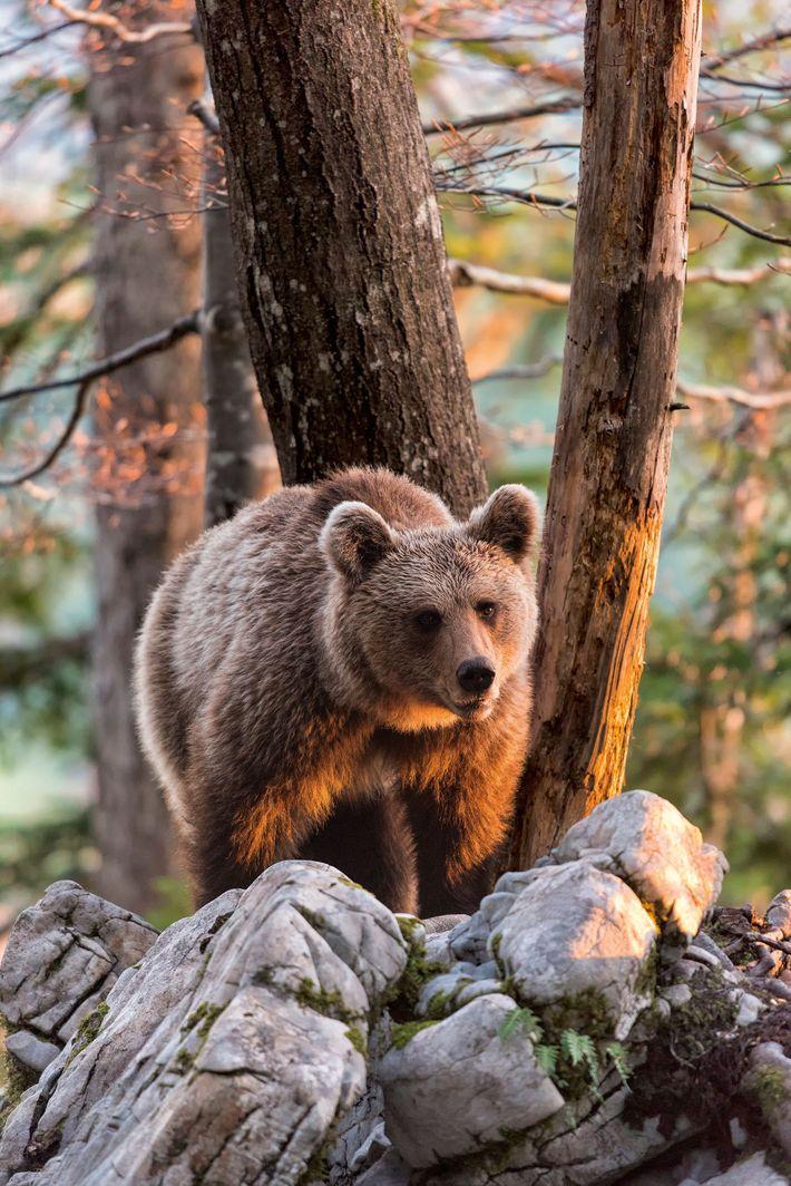 Marsican Brown Bear, a critically endangered species