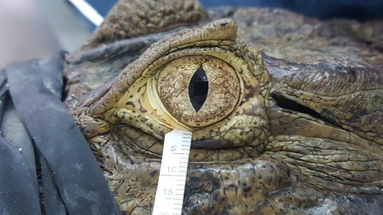 The broad-snouted caiman can go without blinking for hours, which inspired the new research.