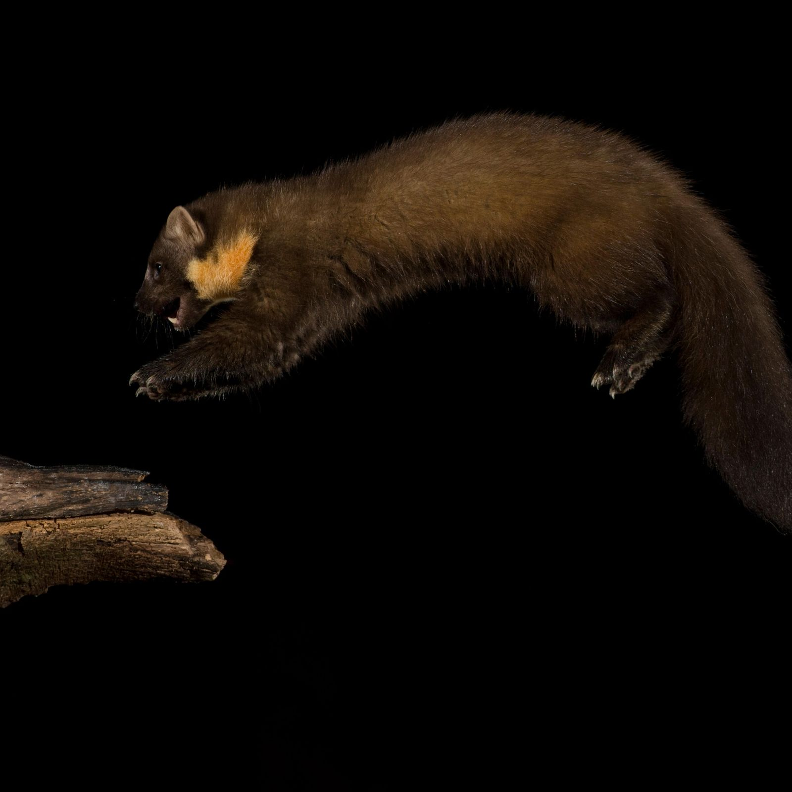 The pine marten is a formidable cat-sized predator, and issolitary, elusive and a generalist predator – ...