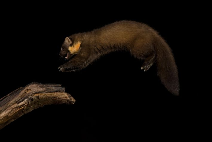The pine marten is a formidable cat-sized predator, and is solitary, elusive and a generalist predator – ...