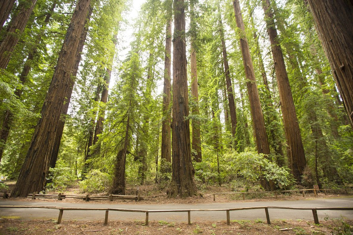 One of California's first redwood parks, Richardson Grove State Park was established in 1922. The park ...