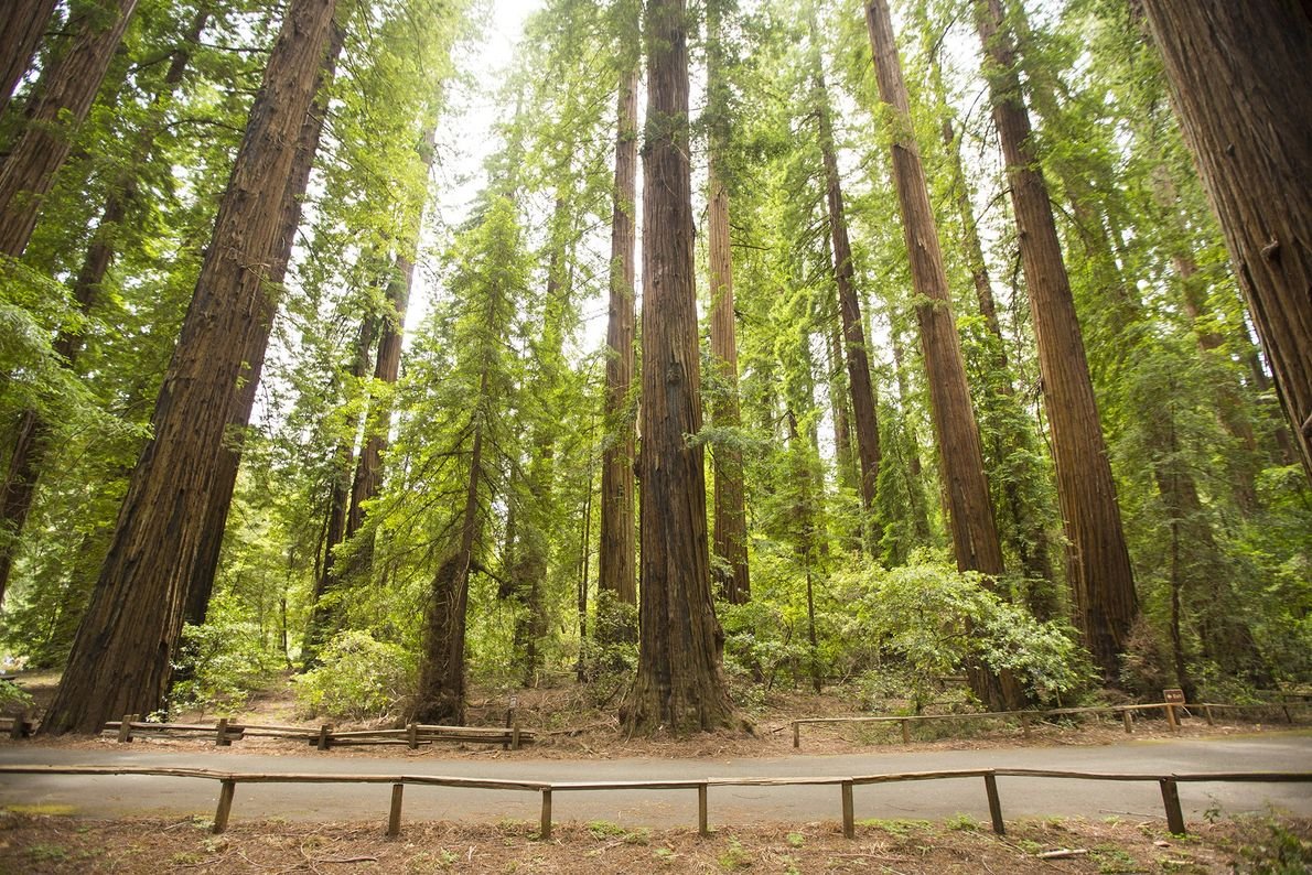 One of California's first redwood parks, Richardson Grove State Park was established in 1922. The park …