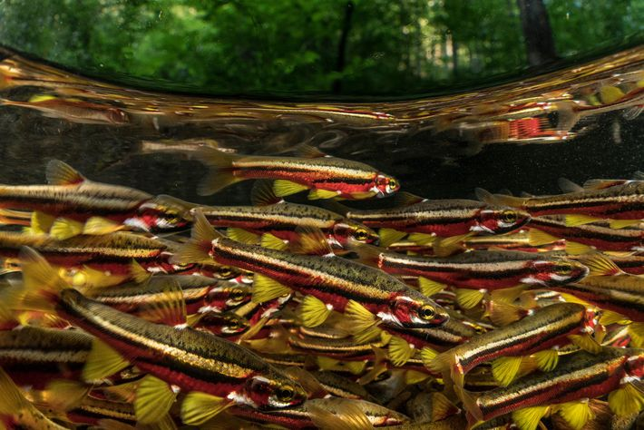 Tennessee dace turn vibrant colours when they breed. They are listed as vulnerable to extinction, and ...
