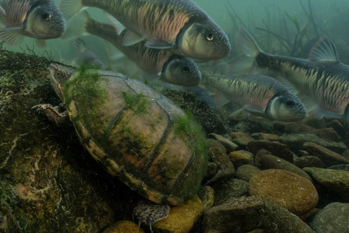 This musk turtle lumbers up a rock while a school of striped shiners spawn around it ...