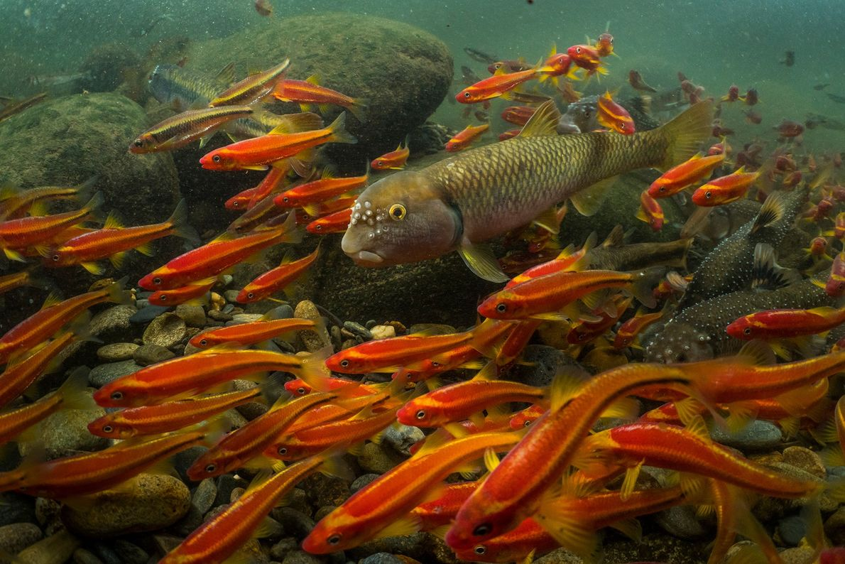 For days, a male river chub (middle) carries rocks in his mouth to create a nest. ...