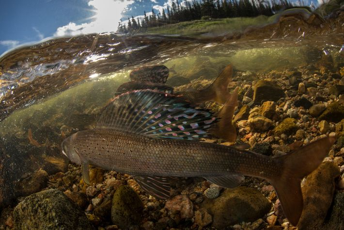 Male arctic grayling raise their butterfly-like dorsal fins to signal that they're willing to compete for ...