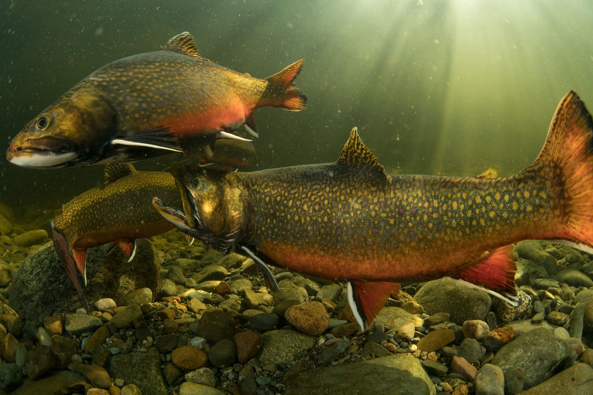 Two male brook trout fight each other while a female trout (back) builds a nest to ...