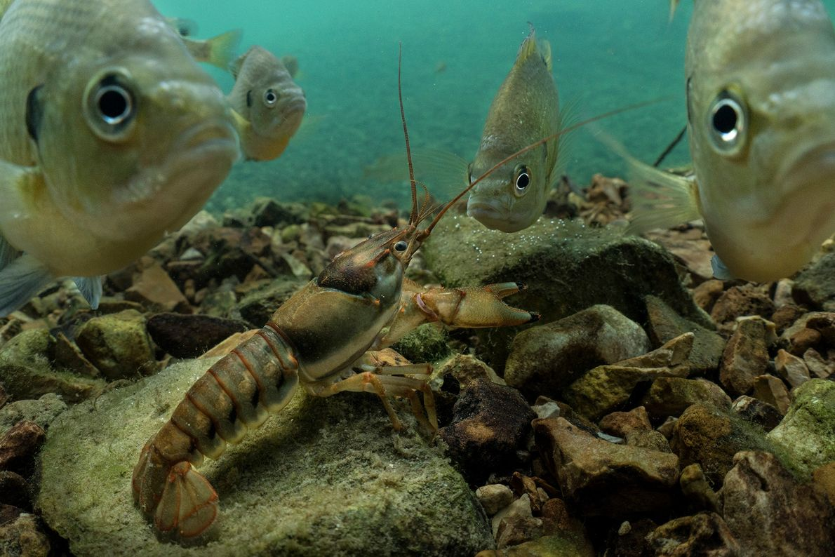 A group of curious bluegills, also known as bream, surround a crayfish in the waters of ...
