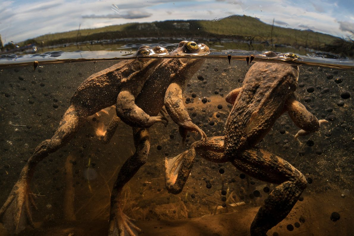 Three male Oregon spotted frogs vie for the opportunity to fertilise the future eggs of the ...