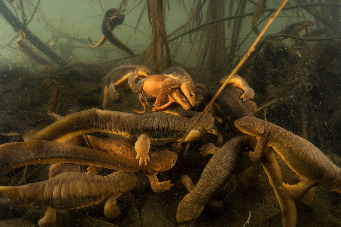 Every winter, rough-skinned newts visit the same pond in Oregon's Willamette River to mate. Eight years ...