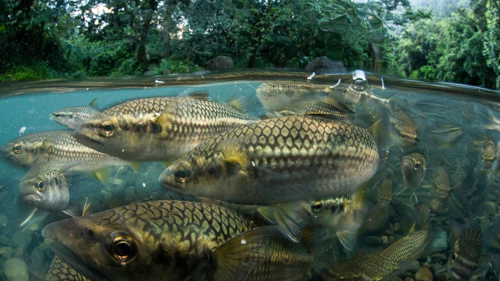 Puerto Rican mountain mullet reside in El Yunque National Forest. Known to the locals as dajao, ...