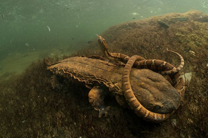 This giant salamander, known as a hellbender, hopes to make a northern water snake its next ...