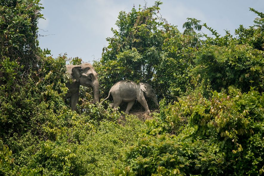 Two elephants walk in the Inani forest, which is surrounded by the refugee camps. As the ...