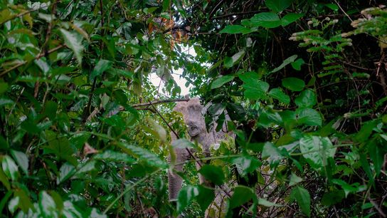 An Asian elephant peers through foliage in Bangladesh's Inani forest, on the edge of the largest ...