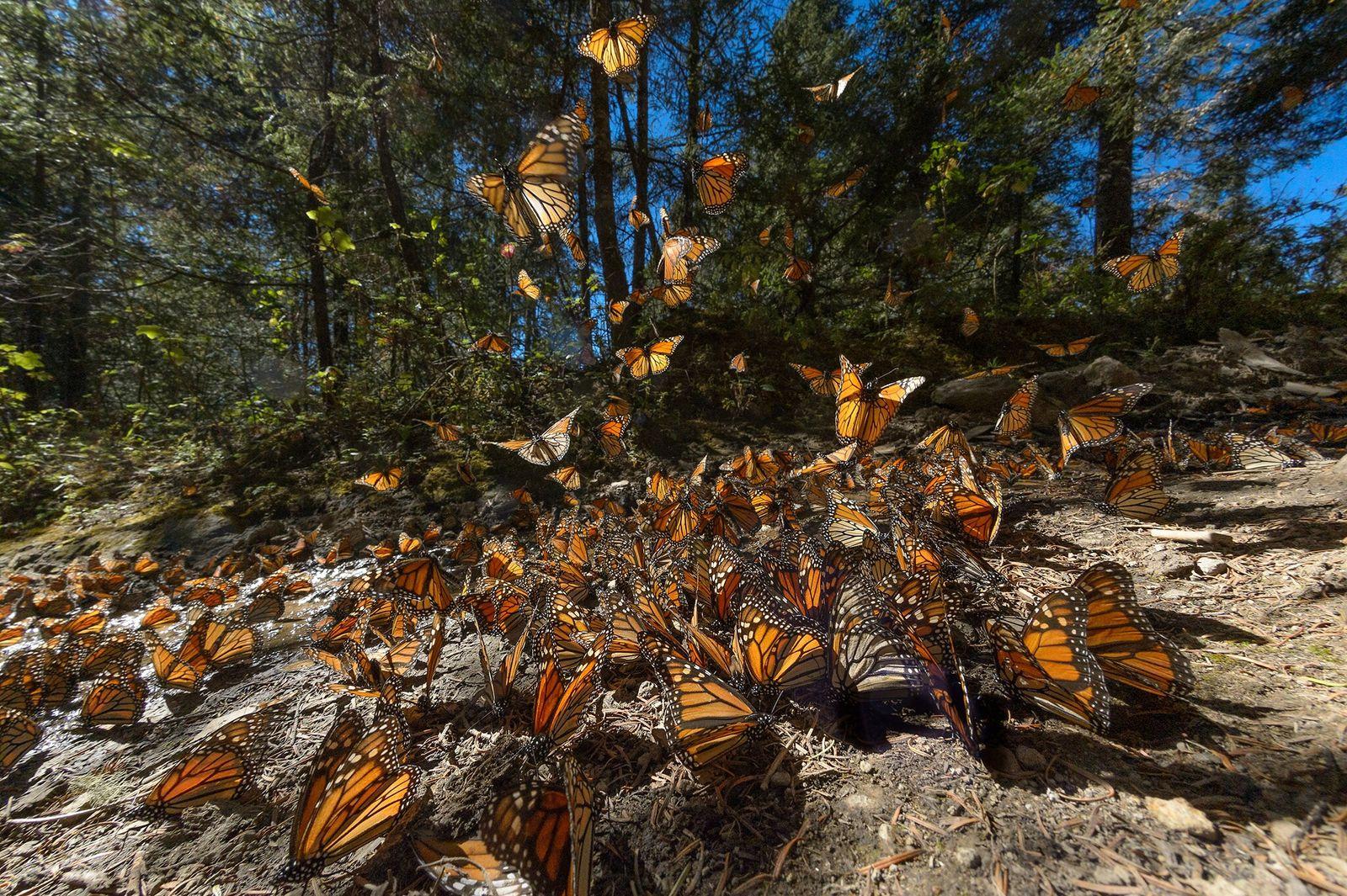 Migrating monarchs gather in Santuario El Rosario in the state of Michoacán in southwestern Mexico. The ...