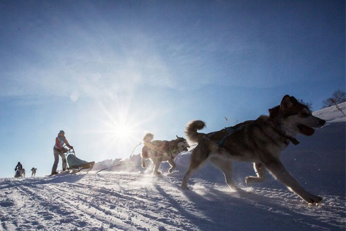 Dogs pull a sled during a race in Russia's Krutaya Gorka district.
