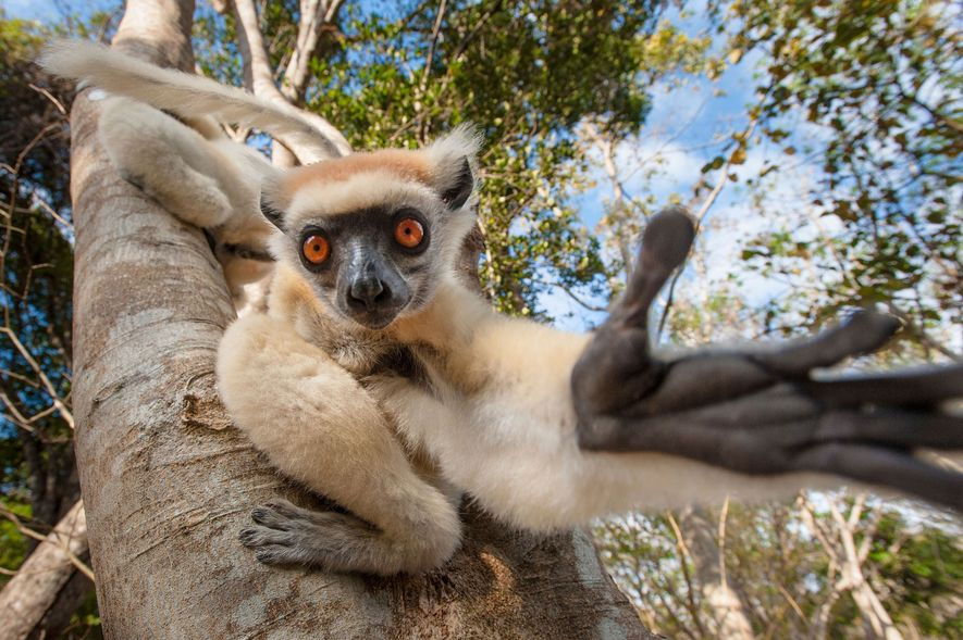 A golden-crowned sifaka reaches out from a tree in Madagascar.