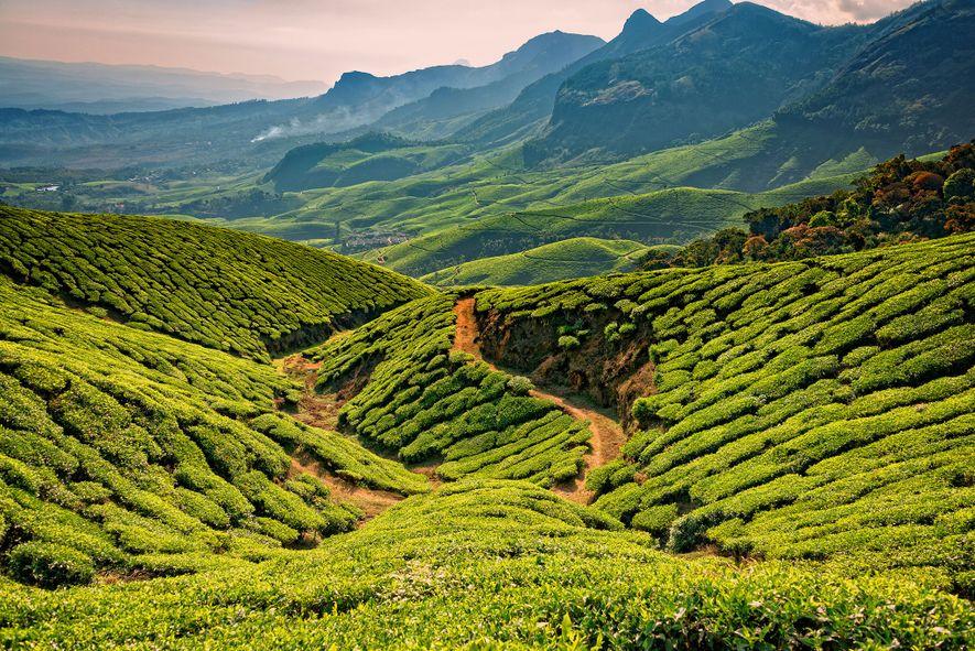 Tea leaves grow along mountainous ridges in Kerala, India.