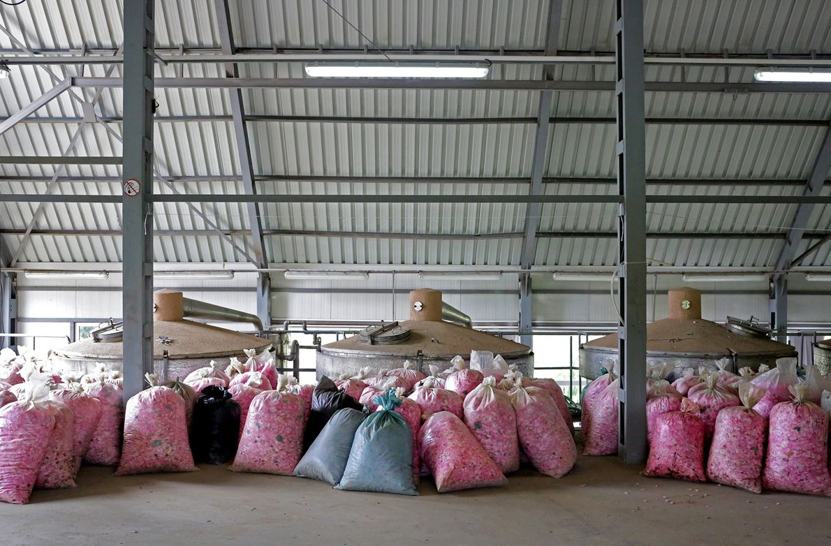 Bags of roses arrive to Lema Distillery in Kazanlak, ready for production.