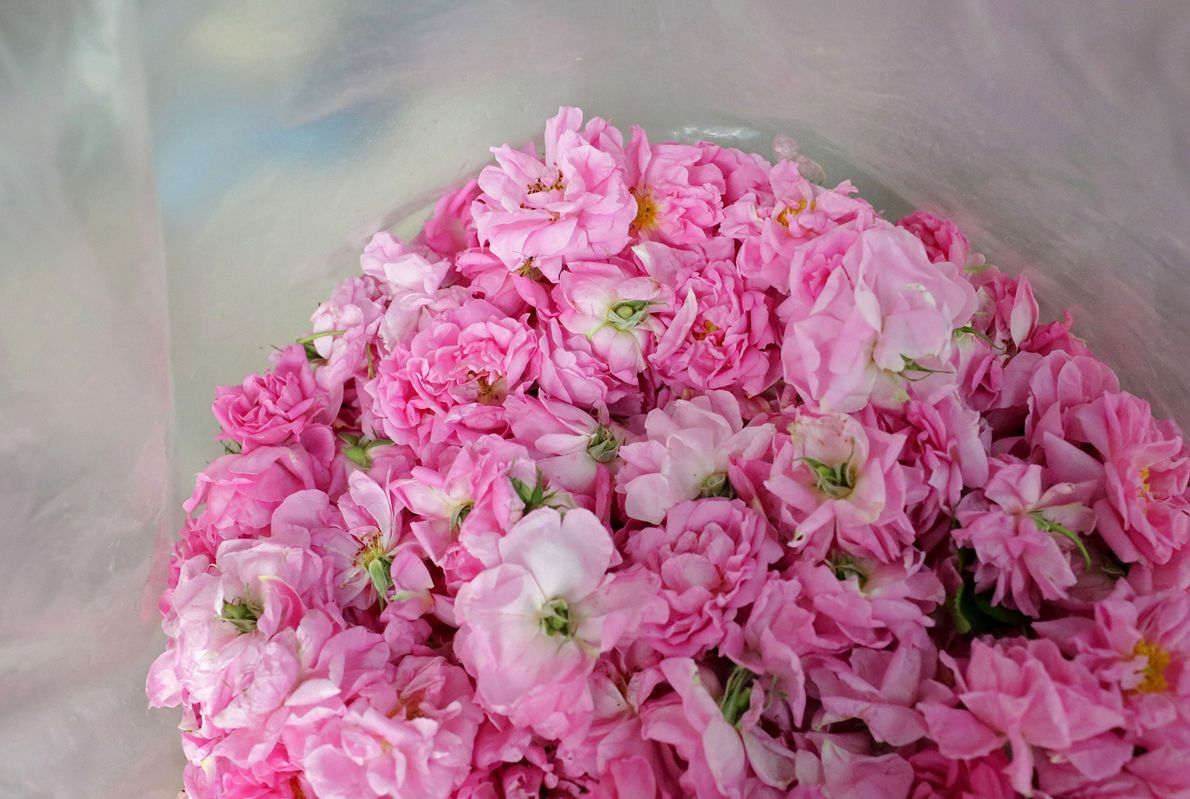 A bags of roses in Lema distillery will help produce rose oil, rose water, or souvenirs.