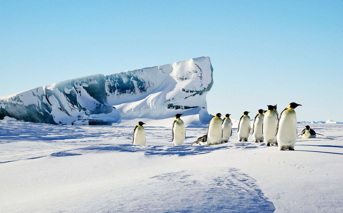 A green iceberg juts up through the snow near a group of Emperor penguins.