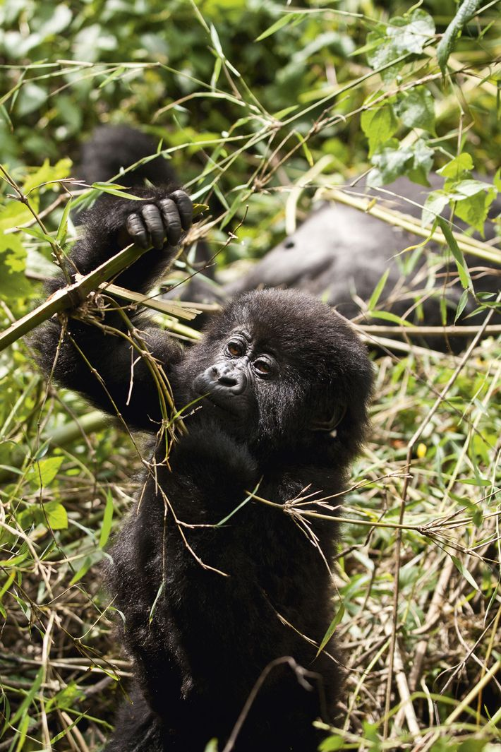 A baby from the Sabyinyo mountain gorilla group eating bamboo shoots