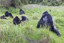 Sabyinyo mountain gorillas, Volcanoes National Park