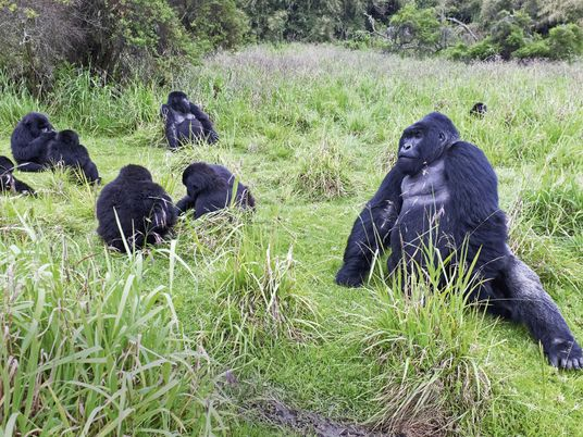 Searching for gorillas in Rwanda's Volcanoes National Park