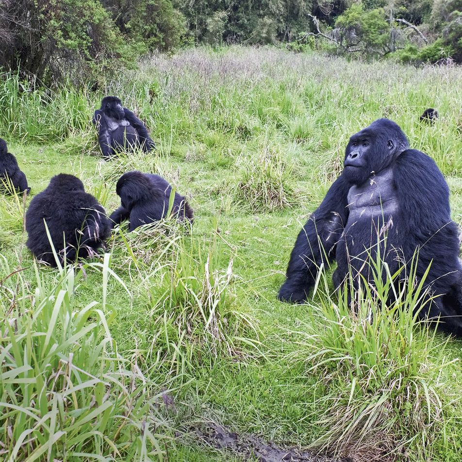 Searching for gorillas in Rwanda's Volcanoes National Park