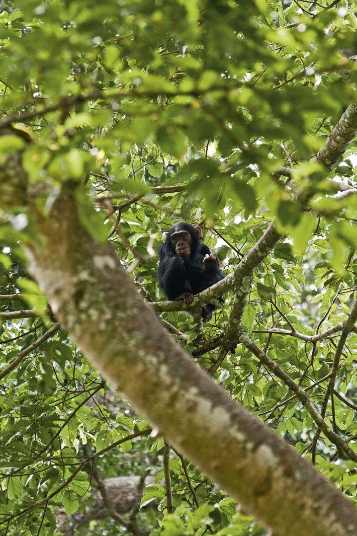 Chimpanzee, Cyamudongo Forest