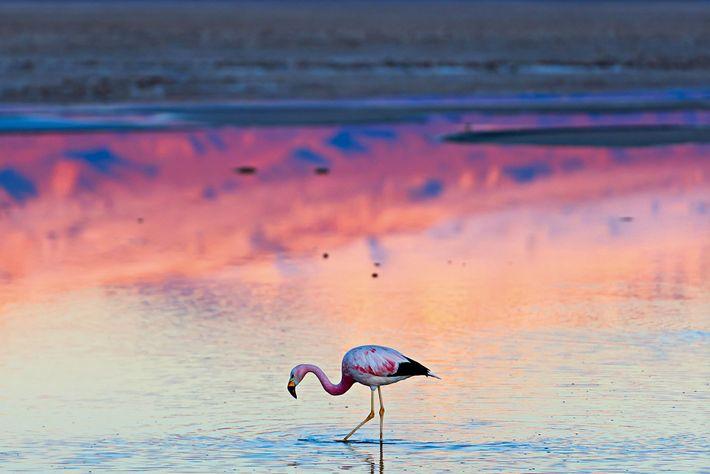 Flamingo, Chaxa Lagoon.